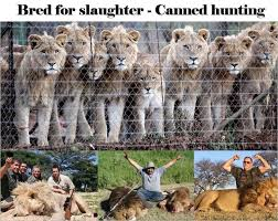 Blood Lions Raised To Be Killed By Wealthy Americans