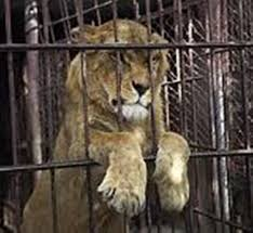 Canned Hunting Exposed: Savage Cruel Bloodthirsty